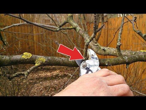 Важно! Обрезка груши отличается от обрезки яблони! Как и когда обрезать грушу осенью?