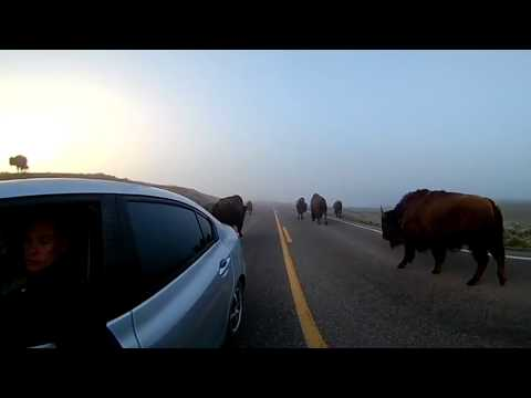 From Middle of a Bison Herd with babys in 360 degree, Yellowstone National Park