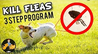 How to Kill Fleas on a Dog (the 3 steps to success!) - Dog Health Vet Advice