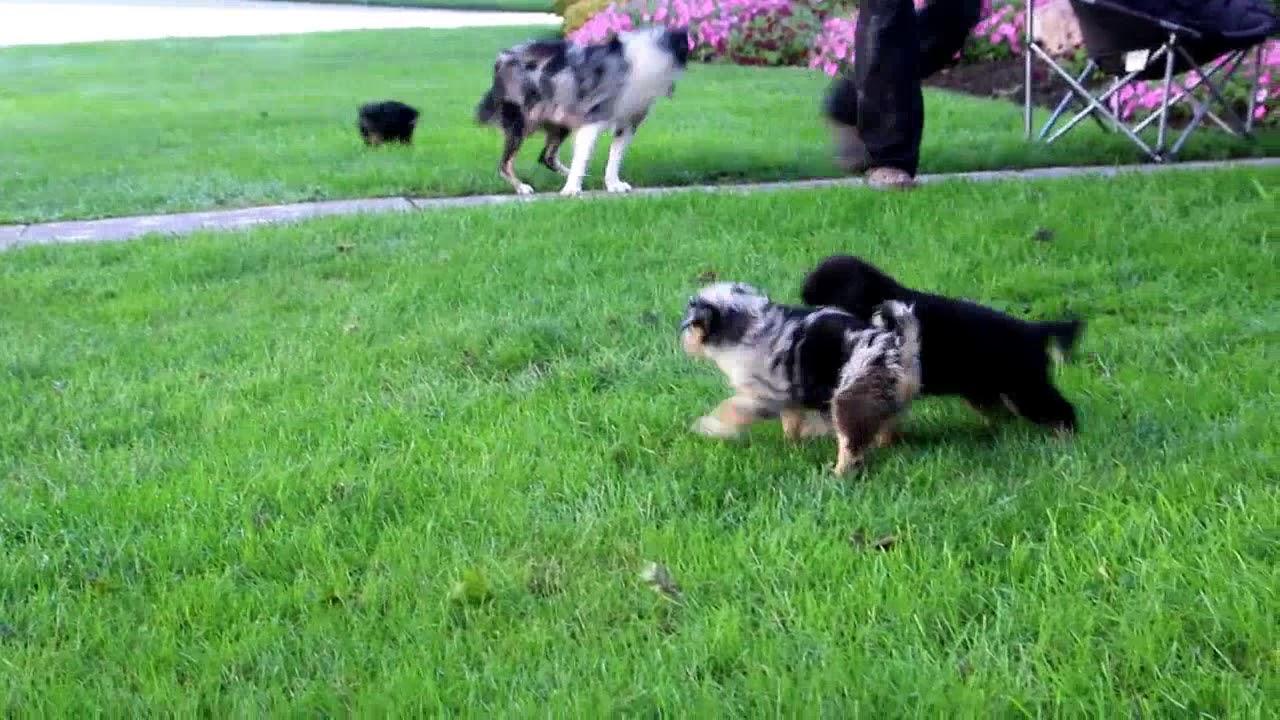 Mini Australian Shepherd Puppies For Sale