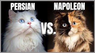 Persian Cat VS. Napoleon Cat
