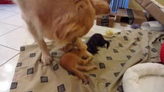 Orange Foster Kitten Attacking & Biting Big Dog's Paw & Leg - Patient Golden Retriever thumbnail