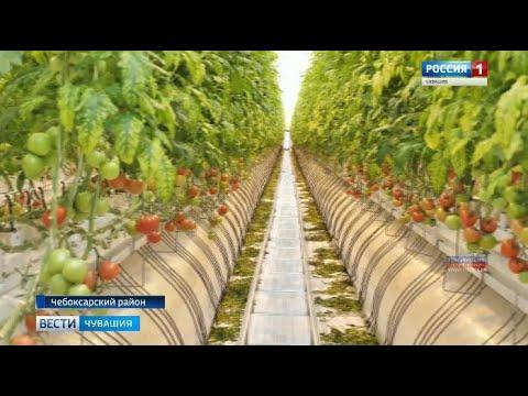 В Чебоксарском районе открылся новый тепличный комплекс