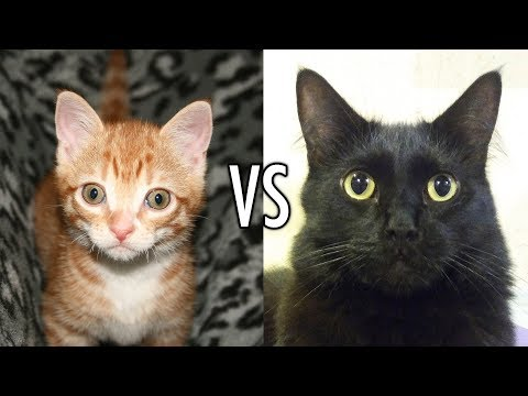 Most Brutal Kitten VS Cat Fight EVER!