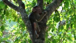 Red faced monkey and its kid at Agricultural College, GKVK, UAS, Bangalore
