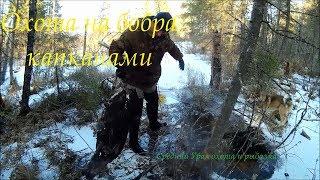 Охота на бобра капканами . Бобр в КП250. Hunt for the beaver by traps. Beaver in KP250.