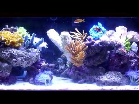 Saltwater Aquarium -- Rare Colorful Spanish Hogfish -- 100 Gallons