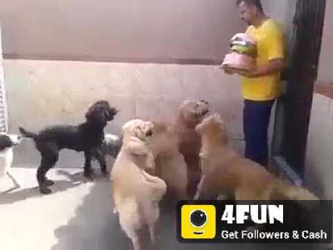 Those dogs are waiting to eat...but they can't eat without permission of master