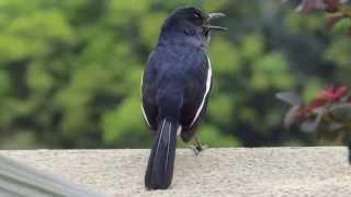 Oriental Magpie Robin - Bird Sound