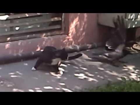 Кот и Ворона:))) Смешное видео, видео прикол:)