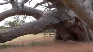 Sagole Big Tree (Baobab) -- The largest tree in South Africa
