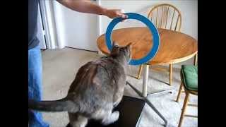 10 Amazing Cat Tricks with clicker-trained Ayla