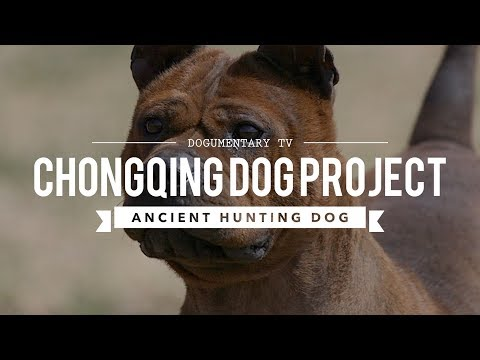 ALL ABOUT CHONGQING DOG: ANCIENT CHINESE  BULLDOG