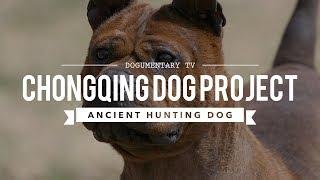ALL ABOUT CHONGQING DOG: ANCIENT CHINESE  BULLDOG