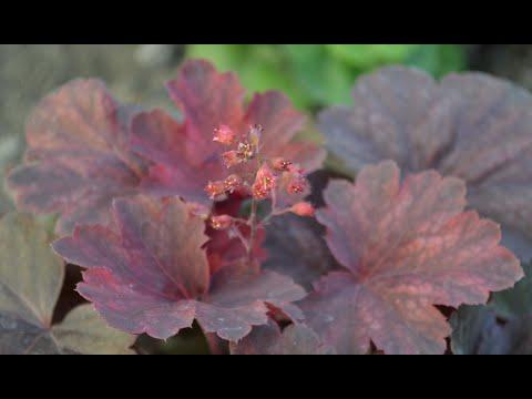 Гейхера в период цветения. Купить 4 сорта гейхеры