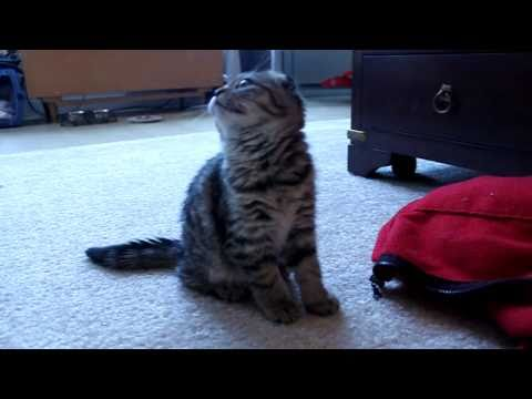 Noisy Scottish Fold Kitten
