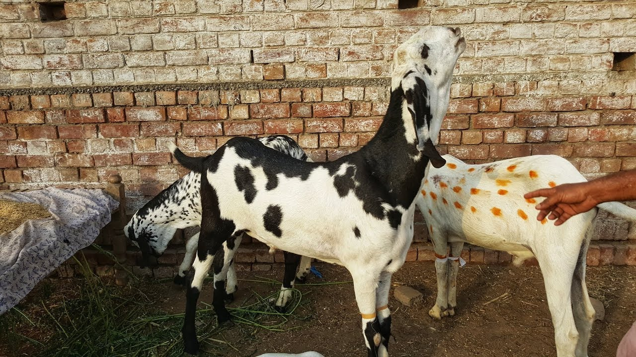 Sub ki Requests Halke Bakray Lahore Bakra Mandi 2019 Rates HIGH or LOW ?  Bakra Eid 2019