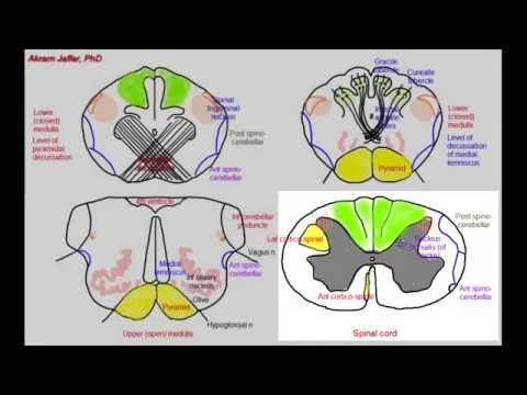 Medulla oblongata, simplified sections of internal structure - YouTube