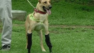 Dog Learns To Walk With Artificial Legs In Mexico City