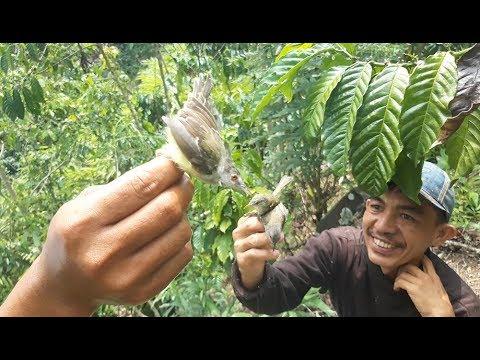 Download Lagu Pikat burung ciblek seru banget di alam liar lengketnya buaanyakkkk