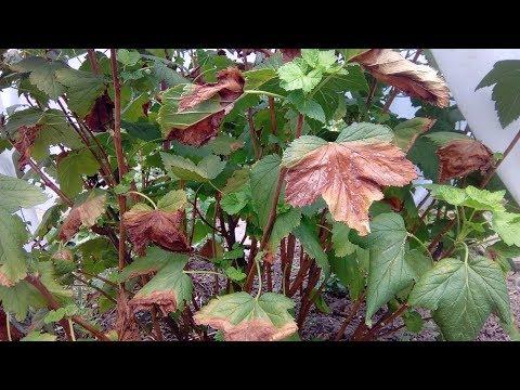 Почему желтеют и сохнут листья на смородине  Что это и что делать