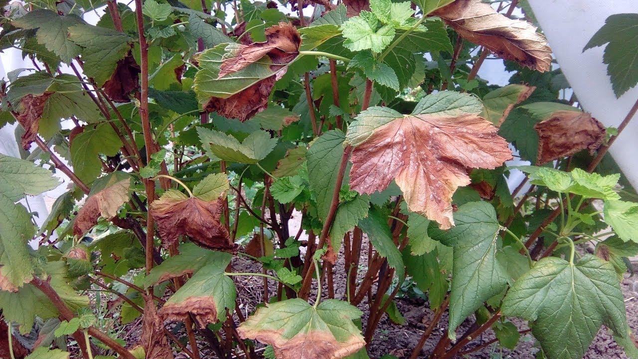 Пожелтели листья смородины