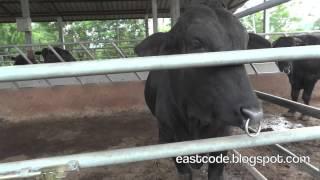 Black cow pioneer farm Sakon Nakhon Thailand