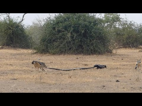 Dickerman - Honey Badger Takes On A Python and Two Jackals