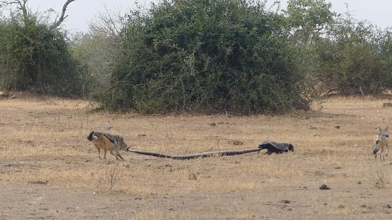 Python, Honey Badger & Jackal Fight Each Other