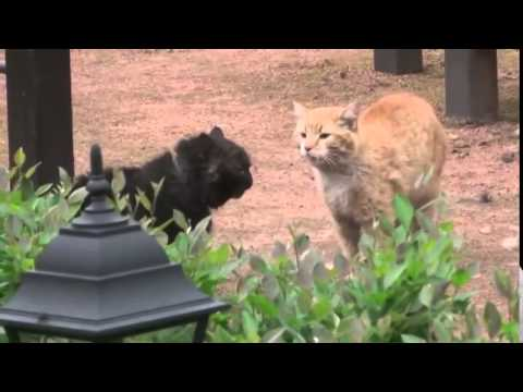 Кот сражается за своё любимое место