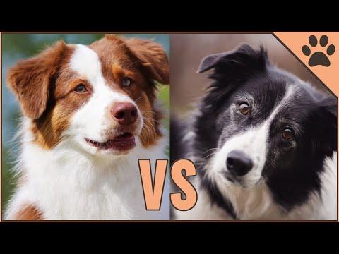 Border Collie vs Australian Shepherd  DIFFERENCES
