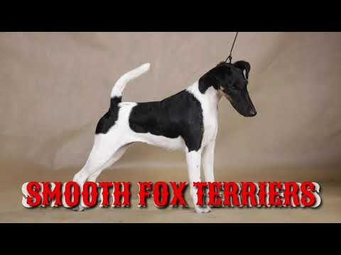 RARE: Smooth Fox Terrier Puppy for Sale in India. Fox Terriers Pups available.