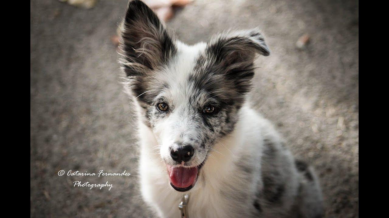 Cheza - 4 months Border Collie Puppy! - YouTube