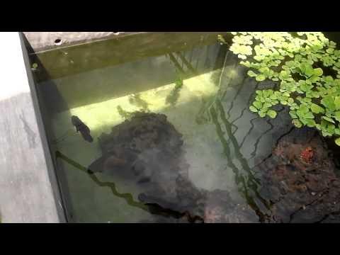 cá tai tượng châu phi đẹp nè