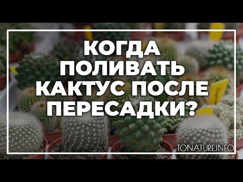 Вопрос: Для чего за неделю до пересадки кактус не поливают?