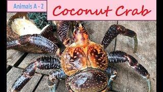 Coconut Crab (Birgus latro) - The Largest Land Crab in the World