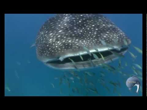Diving around Bohol, Philippines - Walhaie, Whale sharks