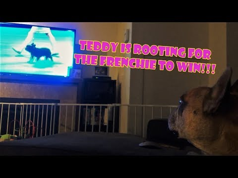 Teddy the French Bulldog Watches Dog Show