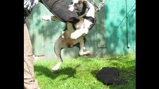 "Bcb's Lady ""rage"" American Bulldog Puppy, Grip Work Under Pressure"
