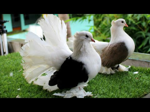 Indian Fantail and American fantail for sale at RS Petworld | Masakali  kabootar for sale