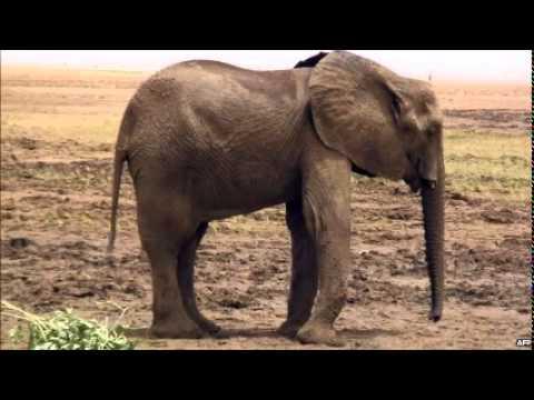 Poaching in northern Mali threatens rare elephant