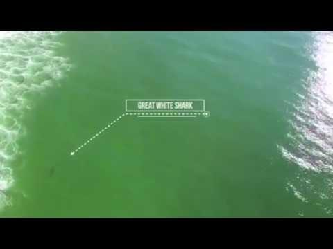 Dron grabando a tiburón acechando a surfista en Lighthouse Beach