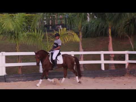 Lote 23 - Mago HI -Cavalos puro sangue Lusitanos - Coudelaria aguilar