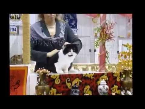 CFA Cat Show, Cotton States, Duluth, GA 2014 - Manx Class Judging