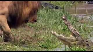 Узнай кто круче крокодил или лев???(Разборка крокодила со львом за территорию бесплатно в хорошем качестве, онлайн бесплатно в хорошем..., 2013-04-09T06:27:41.000Z)