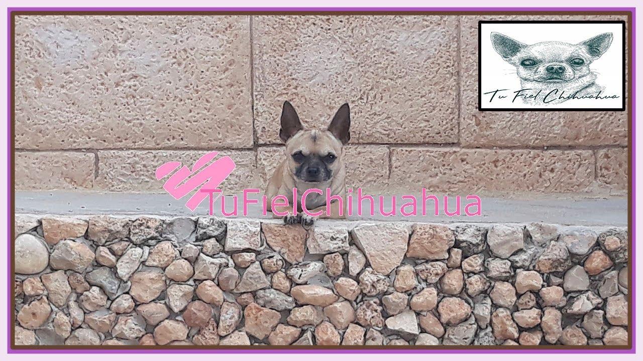Tu Fiel Chihuahua