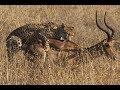Cheetah hunts and kills an Impala (Kruger National Park, South Africa)