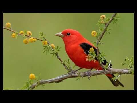 Songbird (Barbra Streisand)