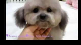 Gray Pocket Teacup Poodle Teddy Bear
