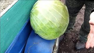 Так можно или нет сажать капусту ,если предшественник была горчица???.